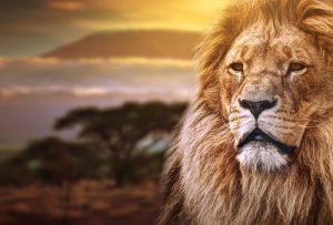 König der Tiere & einer der Big 5: de Löwe